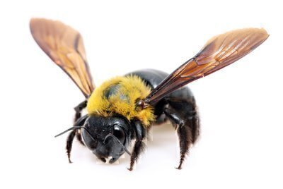 These Large Bees Look Alarming But They Are Valuable Pollinators And Pose No Threat To Humans Sometimes Confused With Bumblebees Theyre About An Inch
