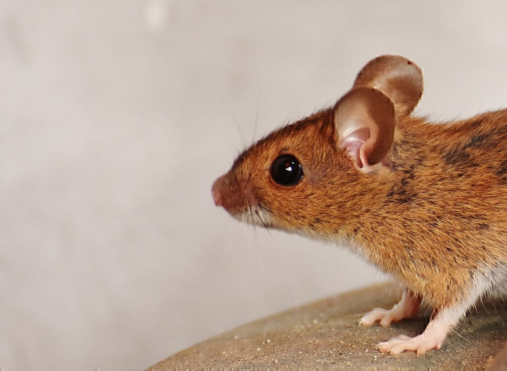 How to Get Rid of Mice and Rats - Chicago Consumers' Checkbook